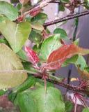 Chokecherrysidor arkivfoton