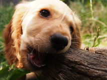 Choki Pet. Beautiful dog gnaws a tree bark Royalty Free Stock Photos