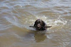 Choklad - brun sedd simning för labrador retriever bärande huvud halter i Sten Lawrence River med pinnen i dess mun arkivbild