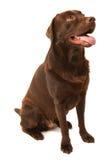 choklad labrador Arkivbild