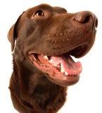 choklad labrador Royaltyfri Bild