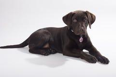 choklad labrador Arkivfoto
