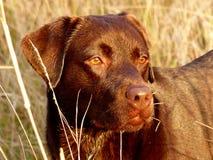 Choklad labrador i guld Arkivfoto