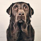 Choklad Labrador mot väggen Royaltyfri Fotografi