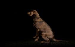 Choklad labrador retriever i mörkret Arkivfoto
