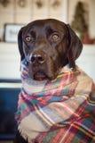 Choklad labrador retriever som slås in upp royaltyfria foton