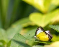 Chokladalbatrossbutteflies i en trädgård fotografering för bildbyråer