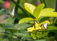 Chokladalbatrossbutteflies i en trädgård arkivfoton