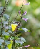 Chokladalbatrossfjäril i en trädgård fotografering för bildbyråer