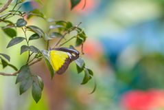 Chokladalbatrossfjäril i en trädgård royaltyfria bilder