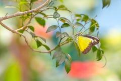 Chokladalbatrossfjäril i en trädgård royaltyfri foto