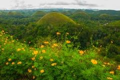 Chokladkullar och gula blommor, Bohol ö, Filippinerna Royaltyfri Foto