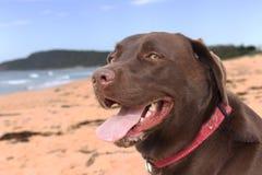 Chokladlabrador på Shelly Beach på New South Wales den centrala kusten royaltyfria bilder