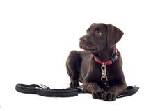 chokladlabrador pup royaltyfri foto
