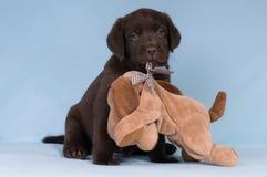 Chokladlabrador retriever valp med en leksak Royaltyfri Fotografi