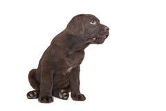 chokladlabrador valp Arkivbild