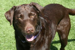 Chokladlabradorhund på gräsmatta Royaltyfri Foto