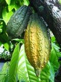 Chokladträd fotografering för bildbyråer