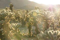 Chola no parque nacional de árvore de Joshua fotos de stock royalty free