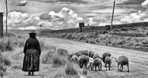 Cholita и овечки Стоковая Фотография