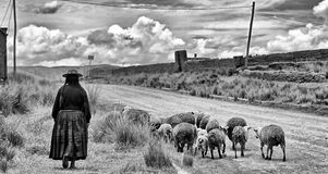 Cholita y corderos Fotografía de archivo
