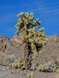 Cholla跳跃的仙人掌, Cylindropuntia fulgida,跳跃的cholla,亦称垂悬的链cholla,是cholla仙人掌nati 图库摄影