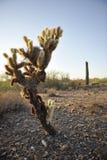 cholla кактуса Стоковое Изображение