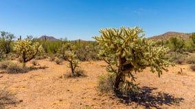 Cholla仙人掌和柱仙人掌仙人掌在亚利桑那沙漠 库存照片