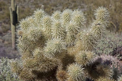 Cholla Stock Images