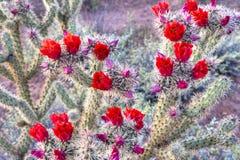 Cholla. Blooming Buckhorn Cholla in Sonoran Desert royalty free stock photography