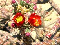 Cholla branchant en fleur Images stock