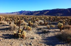 Free Cholla Cacti In The Ajo Mountains, Organ Pipe Cactus National Mo Stock Photography - 114799162