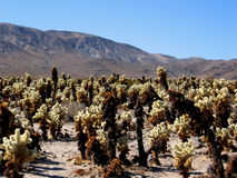 Cholla cacti in Mojave desert Stock Photography