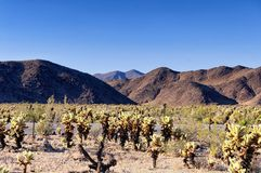 Cholla cacti in pinto basin Stock Images