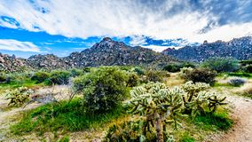 Cholla Cacti in the rugged rocky mountains of the McDowell Mountain Range. Around Phoenix, Arizona viewed from the Tom`s Thumb Trail royalty free stock image