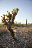 Cholla Cactus. At sunset in desert with cacti in background stock image