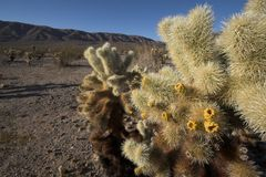 Cholla Cactus Stock Photography