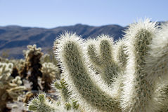 Cholla cactus. Field, shot in Joshua Tree National park Royalty Free Stock Photo