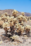 Cholla cactus Stock Photos