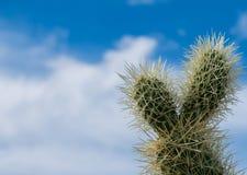 Cholla cactus in Arizona desert. stock images