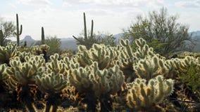 Cholla Cactus - Backlit Stock Photos