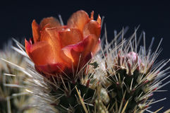 Cholla cactus bloom. Close up image of cholla cactus flower in spring Royalty Free Stock Image