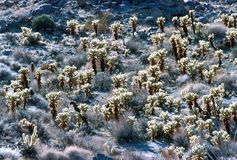 Cholla Cactus Royalty Free Stock Photography