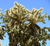 Cholla cactus Sonora Desert Arizona. Cholla cactus in blue sky sonora desert Arizona royalty free stock images