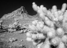 Cholla cactus and Boundary Cone Peak. Stark black and white contrast, desert Cholla cactus and Boundary Cone Peak in the Black Mountains of Arizona stock images