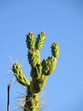 Cholla Cactus Royalty Free Stock Photography