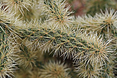 Cholla cactus Stock Photo