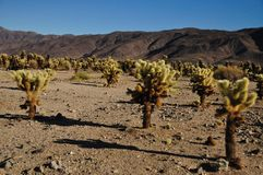 Cholla Cactus in the Desert Stock Photography