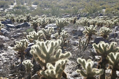 Cholla Cactus In Desert Royalty Free Stock Photography