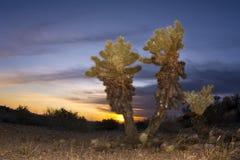 Cholla cactus in desert at sunset Royalty Free Stock Photo